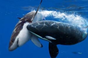 great-white-shark15