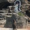 【悲報】アニメキャラのパネルに恋したペンギンさん隔離される →画像