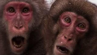 エサ与えられすぎて限界を超えたお猿さんの末路 →画像と動画