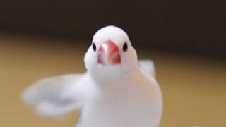 文鳥が交尾してる動画ワロタwwwww