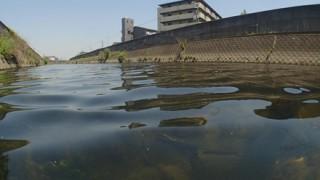 兵庫県揖保川の巨大肉食魚『アリゲーターガー』ついに捕獲される →画像