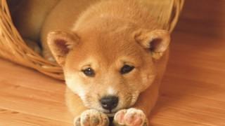 「韓国人には柴犬は二度と譲らない」日本のペットショップが宣言 韓国ネットで炎上