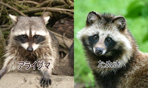 araiguma-tanuki-030303