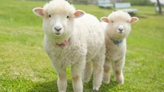 【画像】南アフリカで「半人半羊」が生まれ村人パニックに