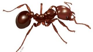 生の火蟻(ヒアリ)を主食として食べている人々が話題