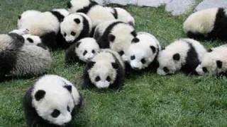 【超貴重】パンダ出産の瞬間がなんか凄いwwww