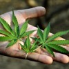 ウルグアイで『大麻合法化』した結果 →