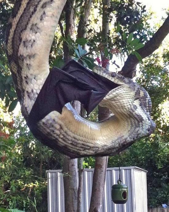 wpid-snake-eats-bat.jpg