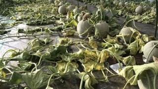 除草剤を撒かれたメロン農家さん なぜかTwitterで叩かれる