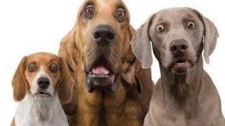 【画像】世界一大きい犬「グレート・デーン」デカすぎワロタwwwwwww