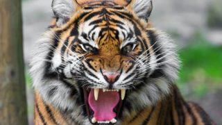 【批判】サーカスのトラたち太り過ぎてデブ猫に →動画像