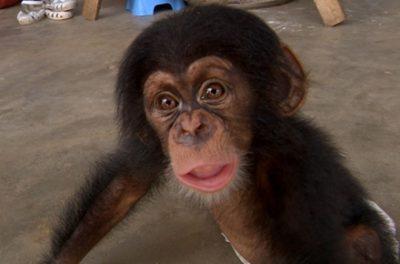 【実験】人間の子供とチンパンジーの赤ちゃん一緒に育ててみた結果 ⇒