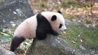 「なぜパンダだけ特別扱い」マスコミのパンダ報道に疑問の声