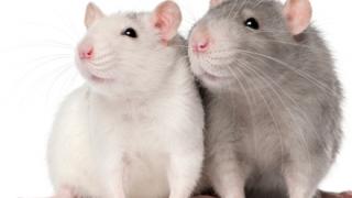 【実験】ネズミの血液中に『青色1号』を注射してみた結果 →画像