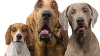 【人面犬】想像以上に『人の顔のような犬』が話題に →画像