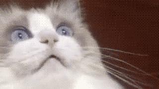 クッソ綺麗な美人猫が口の中に歯ブラシ突っ込まれ呆然とするGIF画像