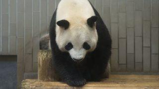 パンダ「もう許してください。。。」中国の動物園で虐待されたパンダの画像が涙をそそると話題に