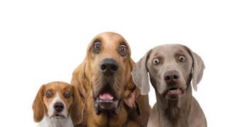 【悲報】「子牛のフェラでイカされる犬の動画」が拡散されてしまう