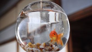 【画像】アメリカの金魚wwwwww