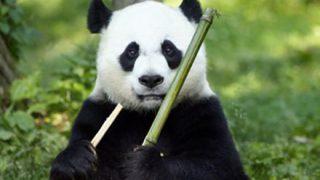 【朗報】パンダねこさん、見つかる →画像