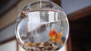 【画像】ア メ リ カ の 金 魚wwwwwwww