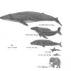 ◆クジラの心臓◆こんなのが動いてるって凄くね?