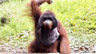 ◆衝撃◆オランウータンから『バナナ』を奪おうとした猿の末路 →動画