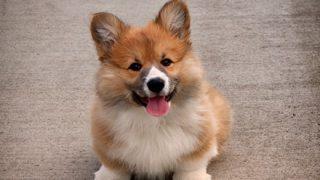 【悲報】コーギーさん『歩き方』を他の犬にいじられてブチギレwwwwww